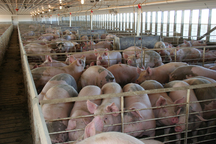 Resistenza agli antibiotici: se il problema nasce dagli allevamenti
