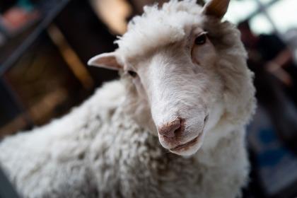 Buon compleanno, Dolly. L'eredità della pecora clonata più celebre della storia