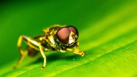 """Il moscerino della frutta che """"fiuta"""" i tumori"""
