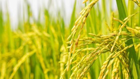 Il golden rice contro la carenza di vitamina A