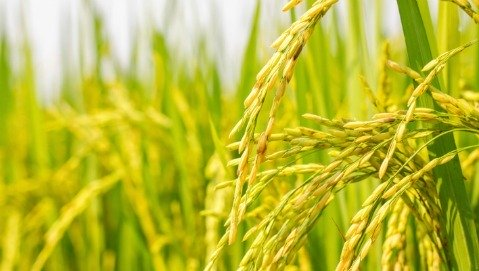 Il golden rice contro la carenza di vitamina A