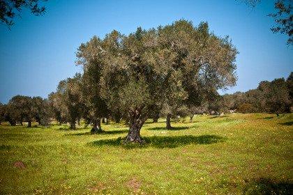 Olio extravergine d'oliva: elisir di lunga vita