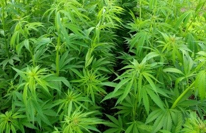 Risultati immagini per adolescenti marijuana effetti