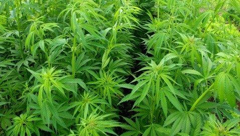 Legalizzare la marijuana terapeutica non fa crescere l'uso tra gli adolescenti