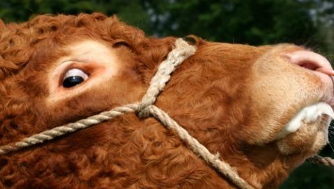 Vi ricordate della mucca pazza? Il morbo è ormai debellato